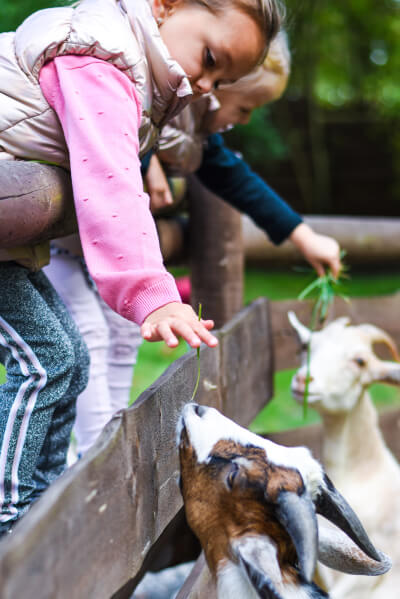 Dívka krmí kozy