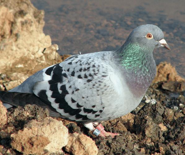 holub poštovní
