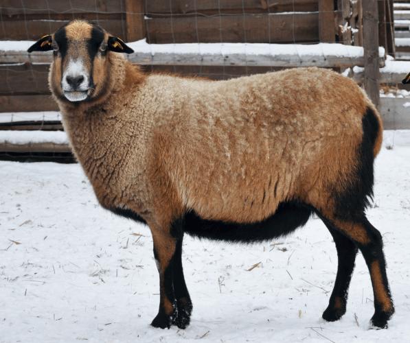ovce kamerunská