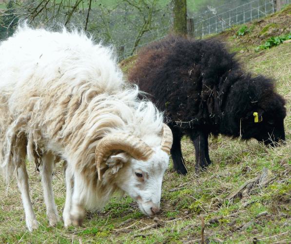 ovce oussantská